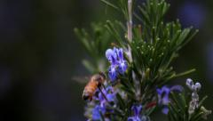 Bee on Rosemary flower Stock Footage