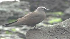 P03146 Noddy Tern at Galapagos Islands Stock Footage