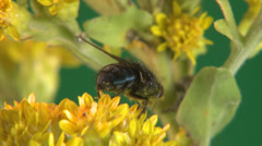 P03131 House Fly on Yellow Flower Stock Footage