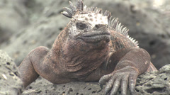 P03141 Closeup of Marine Iguana Lizard Face Stock Footage