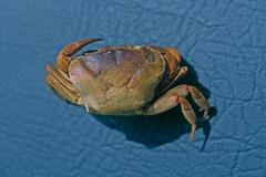 land crab, usually seen in the monsoon, india - stock photo