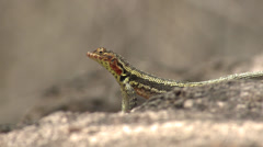 P03133 Lava Lizard on Galapagos Islands Stock Footage