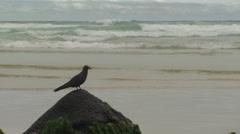 P03148 Brown Noddy Tern on Rock at Galapagos Islands - stock footage