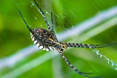 Spider, argiope bruennichi Stock Photos