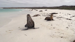 P03115 Galapagos Sea Lions on Sandy Beach Stock Footage