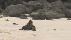 P03137 Marine Iguana Walking on Sandy Beach Stock Footage