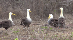 P03111 Waved Albatross Breeding and Courtship Display Stock Footage