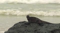 P03138 Marine Iguana at Galapagos Islands Stock Footage