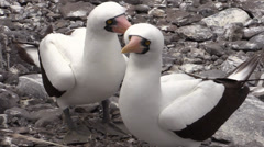 P03105 Nazca Booby Pair at Galapagos Islands Stock Footage
