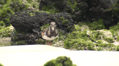 P03144 Ruddy Turnstone at Galapagos Islands - stock footage
