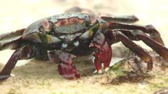 P03149 Sally LIghtfoot Crab Feeding at Galapagos Islands Stock Footage