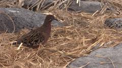 P03102 Galapagos Dove aka Pigeon Arkistovideo