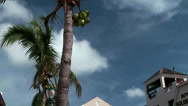 Stock Video Footage of Nassau_047HD, a Palm Tree with Coconuts against blue Sky