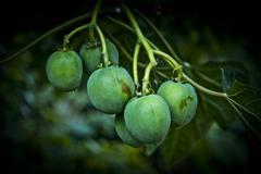Jatropha seeds Stock Photos
