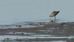 P03188 Shorebirds in Mudflat in California Estuary Stock Footage