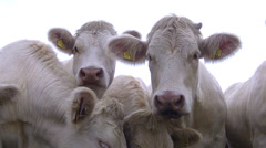 Cows on the field pose for camera. Stock Footage