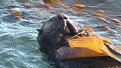 P03180 Sea Otter Tail Feet and Head in Kelp Bed Stock Footage
