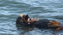 P03183 Sea Otter Rolling in Kelp Bed in California Stock Footage