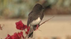 P03172 Black Phoebe Songbird in Coastal California Stock Footage