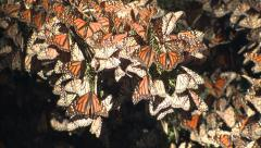 P03174 Monarch Butterflies in Butterfly Grove at Pismo Beach Stock Footage