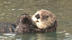 P03197 Male California Sea Otter Feet and Tail to Head Stock Footage