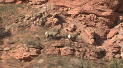 P03164 Bighorn Sheep Ram and Ewe on Cliff Edge Stock Footage
