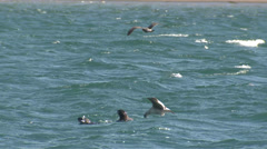 P03168 Sea Otters Feeding Being Harassed by Gulls Stock Footage