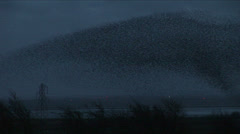 Amazing natural wonder of thousands of starlings in winter evening Stock Footage
