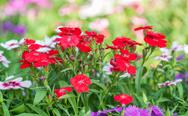 Stock Photo of dianthus flower