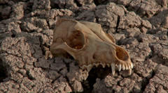 Skull Drought Famine Global Warming  - stock footage