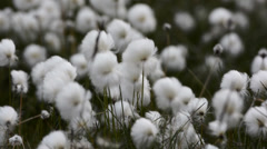 Close up of white cotton grass flowers, Iceland Stock Footage