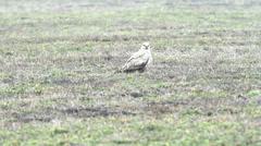 Long-legged Buzzard ( Buteo rufinus ) - stock footage