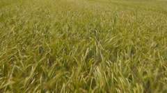 AERIAL: Flying ofer wheat field in Tuscany Stock Footage