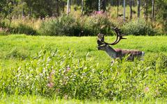 deer with antlers on a background of green grass - stock photo