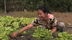 Harvesting Greens - stock footage