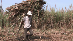 Stock Video Footage of Harvesting Sugar Cane