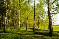 spring birch grove - stock photo