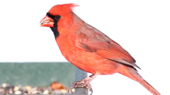 Northern Cardinal in Snow Stock Footage