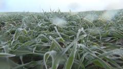 POV Walking in Winter Wheat, Running in Harvest Field, Agriculture, Cereal, Farm Stock Footage