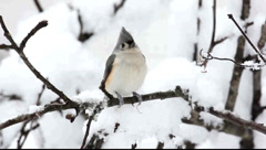 Tufted Titmouse (baeolophus bicolor) on a tree in snow Stock Footage