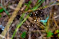 spider, argiope bruennichi - stock photo