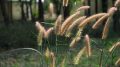 Feather Grass / Imperata Cylindrica Stock Footage