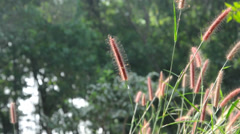 Grass flower Stock Footage