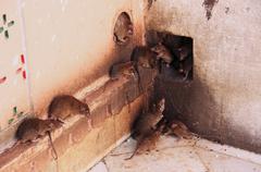 holy rats running around karni mata temple, deshnok, india - stock photo