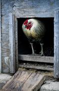 Blue Cock tai kukko seisoo Kanala oviaukon Kuvituskuvat