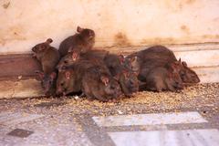 Holy rats running around karni mata temple, deshnok, india Stock Photos