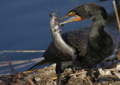 Double-crested cormorant male (phalaccrocorax auritus) eating fish Stock Photos