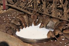 holy rats drinking milk from a bowl, karni mata temple, deshnok, india - stock photo