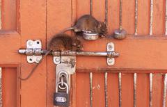 rats sitting on a door lock, karni mata temple, deshnok, india - stock photo