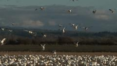 Snow Geese Landing In Field Stock Footage